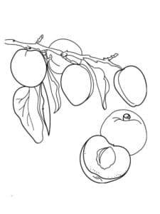 ветка абрикос