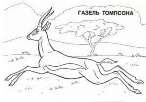 газель томпсона