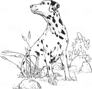 далматинец на природе