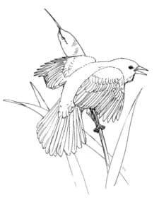 дрозд на веточке раскраска