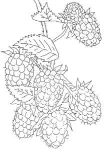 ягоды ежевика раскраска
