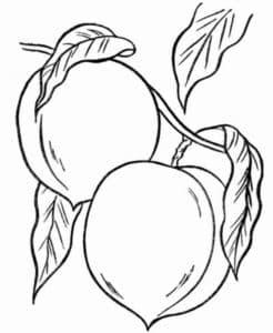 абрикосы раскраска