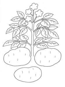картофель и куст
