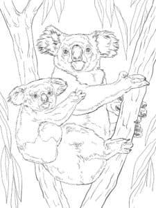 маленькая коала на спине у мамы