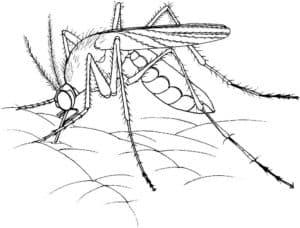 комар пьет