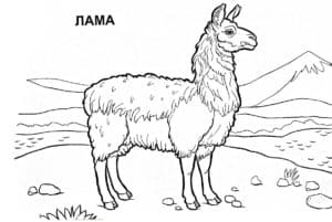 лама на природе