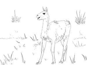 лама ходит по траве