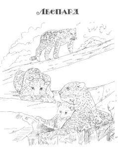 много леопардов