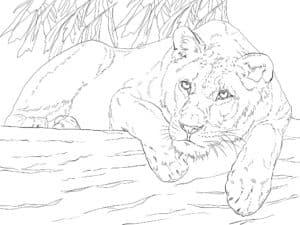 львица отдыхает