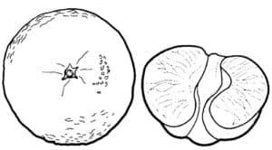 мандарин раскраска