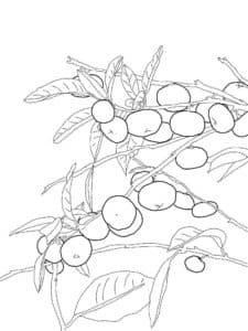 мандарины на дереве раскраска