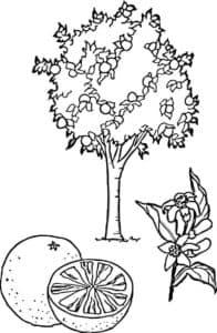 дерево мандарин и цветок
