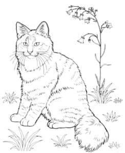 Раскраска кошка Мейн кун
