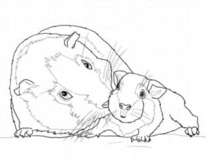 морская свинка с ребенком