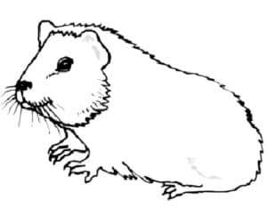морская свинка детская раскраска