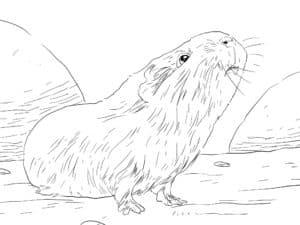 морская свинка на природе