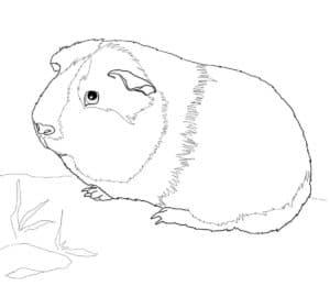 маленькая морская свинка