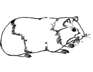 раскраска для детей морская свинка