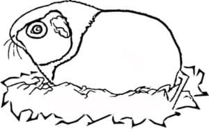 морская свинка в гнезде