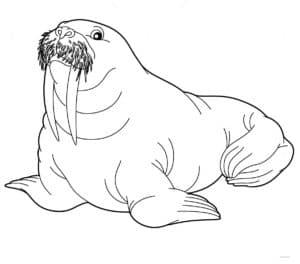 старый морж