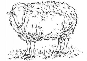 овца антистресс