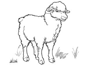 овца и трава