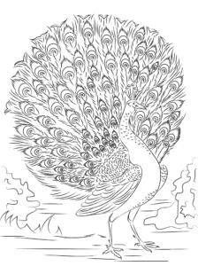 павлин с большим хвостом