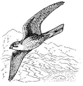 птица сапсан