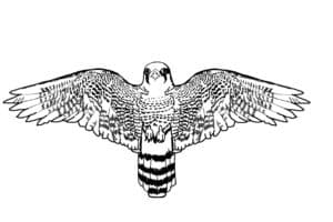 сапсан с большими крыльями
