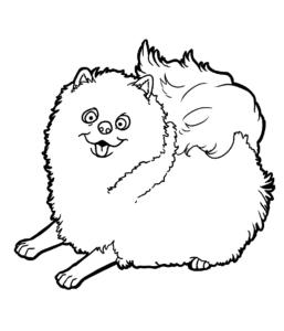 собака шпиц