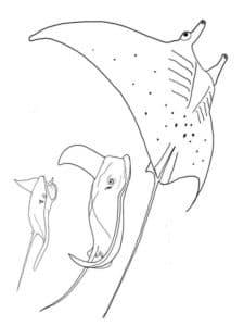 три рыбы скат