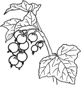 гроздь смородины