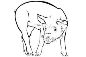 свинья красивая раскраска