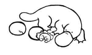 утконос и яйца