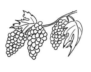 ягода виноград