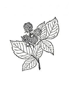 ежевика с листьями