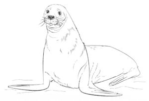 тюлень детская раскраска