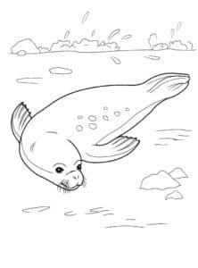 тюлень раскраска