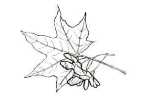 лист клена и паук