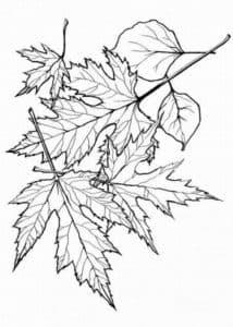 листья дерева клен