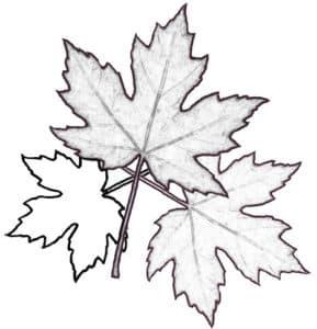 три листика клена