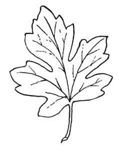 большой лист клена