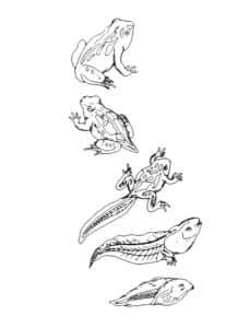 рост лягушки