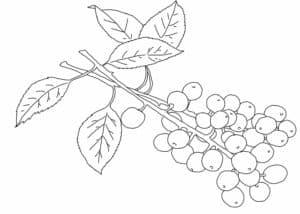 ягода черемуха