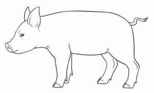 картинка свинья