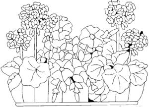Цветы герань