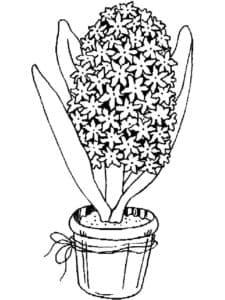 гиацинт в горшке
