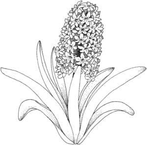 цветы гиацинт раскраска детская