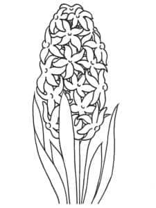 раскраска для детей гиацинт