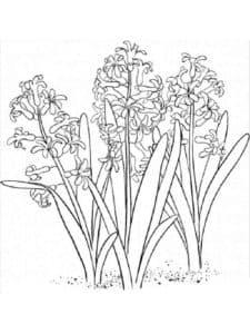 красивые цветы гиацинт